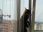 Уникальное изображение Вязка Котик Мейн-кун ищет симпатичную кошечку с родословной, 38832163 в Хабаровске