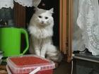 Увидеть изображение Вязка кошек Кот турецкой Ангоры ищет невесту 69247508 в Хабаровске