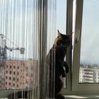 Котик Мейн-кун ищет симпатичную кошечку с родословной