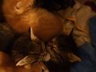 Изображение в Кошки и котята Продажа кошек и котят Милые, маленькие котята ждут своего хозяина. в Щелково 1