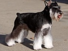 Увидеть фотографию Стрижка собак Стрижка собак, Москва, выезд мастера на дом, 67869120 в Домодедово