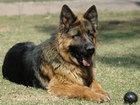 Изображение в Домашние животные Корм для животных Дрессировка собак. Индивидуальные занятия в Истре 0
