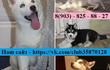 Чистокровные щеночки и взрослые собачки хаски