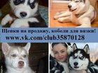 Фотография в Собаки и щенки Продажа собак, щенков ХАСКИ породных чистокровных щеночков разных в Иваново 0