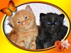 Фотография в Кошки и котята Продажа кошек и котят Для Вас, - кому интересен красный Мейн Кун, в Иваново 0