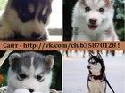 Изображение в Собаки и щенки Продажа собак, щенков ХАСКИ чистокровных щеночков разных окрасов в Иваново 0
