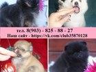Фотография в Собаки и щенки Продажа собак, щенков Продам красивенных очаровательных собачек в Иваново 0
