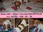 Фото в Собаки и щенки Продажа собак, щенков Замечательных щеночков джек рассел терьера в Иваново 15000