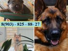 Фотки и картинки Немецкая овчарка смотреть в Иваново