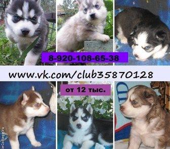 Фотография в Собаки и щенки Продажа собак, щенков ХАСКИ щеночков разных окрасов, продам недорого, в Иваново 12000