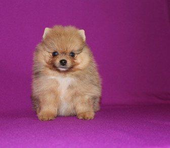 Фото в Собаки и щенки Продажа собак, щенков ШПИЦА красивеееееннных чистокровных и нечистокровных в Иваново 0