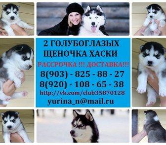 Фото в Собаки и щенки Продажа собак, щенков ХАСКИ 2 красивееенных щеночка с яркими голубыми в Иваново 0