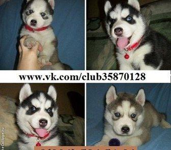 Фотография в Собаки и щенки Продажа собак, щенков ХАСКИ чистокровных породных щеночков - продам в Иваново 0