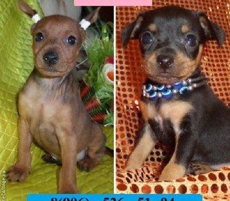 Фото в Собаки и щенки Продажа собак, щенков Карликового пинчера красивеньких чистокровных в Иваново 0