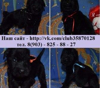 Изображение в Собаки и щенки Продажа собак, щенков Продам недорого ризеншнауцера чистокровных в Иваново 0