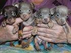 Изображение в Собаки и щенки Продажа собак, щенков Монопородный питомник  Из Дома Бус предлагает в Ижевске 15000