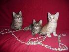 Фото в Кошки и котята Продажа кошек и котят 13. 05. 2016г. родились клубные котята от в Ижевске 15000