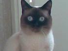 Увидеть фото  Потерялся сиамский кот 37090023 в Ижевске