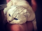 Фотография в Кошки и котята Вязка Имеет ветеринарный паспорт и прививки. в Ижевске 1500