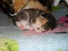 Фотография в Отдам даром - Приму в дар Отдам даром Трехцветную кошечку на счастье. Отдам в добрые в Ярославле 0