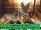 Изображение в Собаки и щенки Продажа собак, щенков НЕМЕЦКОЙ ОВЧАРКИ крупных мощных малышей продам в Ярославле 0