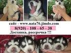 Фото в Собаки и щенки Продажа собак, щенков В продаже - черно-белые голубоглазые щеночки в Ярославле 0