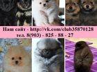 Фото в Собаки и щенки Продажа собак, щенков ШПИЦА красивеееенных прикрасивееенных чистокровных в Ярославле 12000