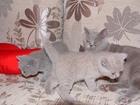 Фото в Кошки и котята Продажа кошек и котят Продаются котятки британские короткошерстные в Ярославле 3500