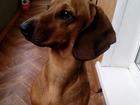 Скачать бесплатно изображение Вязка собак Симпатичный такс ищет себе невесту (ЯРОСЛАВЛЬ) 38411600 в Ярославле