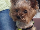 Скачать изображение Вязка собак Ищем сучку 39430269 в Ярославле