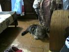 Свежее фотографию Вязка кошек Ярославская кошка ищет себе принца вислоухого с висящими ушками, 58509025 в Ярославле