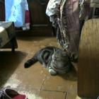 Ярославская кошка ищет себе принца вислоухого с висящими ушками