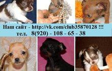 Чистокровные и не чистокровные щенки чихуахуа