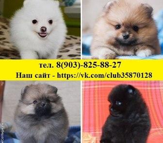 Фотография в Собаки и щенки Продажа собак, щенков Шпица чистокровных и не чистокровных щеночков в Ярославле 8500
