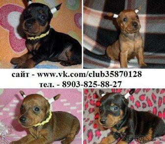 Фотография в Собаки и щенки Продажа собак, щенков КАРЛИКОВЫЕ ПИНЧЕРЫ красивеееееннных щенков в Ярославле 0