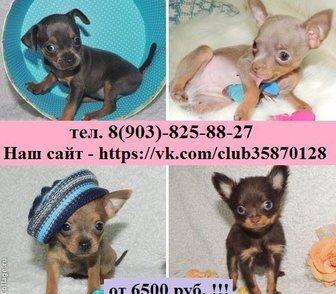 Изображение в Собаки и щенки Продажа собак, щенков ТОЙ-ТЕРЬЕРА красивых щеночков продам дешево, в Ярославле 6500