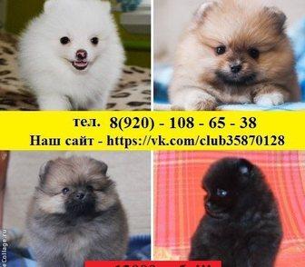 Фотография в Собаки и щенки Продажа собак, щенков ШПИЦА чистокровных щеночков и не чистокровных, в Ярославле 0