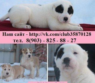 Фото в Собаки и щенки Продажа собак, щенков Алабая (Среднеазиатской овчарки) крупных в Ярославле 0