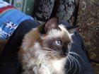 Изображение в Кошки и котята Вязка требуется кот породы регдолл для вязки в Энгельсе 0