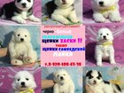 Изображение в Собаки и щенки Продажа собак, щенков Продам красивенных малышей самоедской лайки! в Йошкар-Оле 0