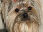 Изображение в Собаки и щенки Продажа собак, щенков Красивые высокопородные щенки Йорка из питомника в Югорске 25000