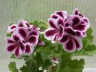 Фотография в   Продаю молодые растения королевских пеларгоний. в Юрге 250
