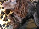Фотография в Собаки и щенки Вязка собак Девочка русский спаниель 1, 5 года, цвет в Южноуральске 0