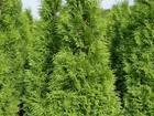 Новое изображение Растения Туи в Калининграде 37391517 в Калининграде