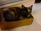 Изображение в Отдам даром - Приму в дар Отдам даром Срочно ищу хозяев для умной и ласковой кошечки. в Светлогорске 0