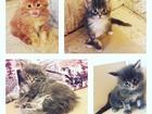 Фото в Кошки и котята Продажа кошек и котят Резервация и продажа котят мейн-кун. Котята в Калининграде 0