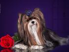 Скачать бесплатно foto Вязка собак Перспективный кобель бивера открыт для вязок 42695165 в Калининграде