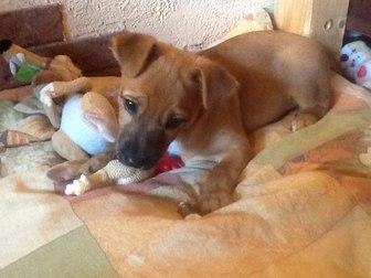 Смотреть foto Отдам даром - приму в дар отдам в хорошую семью щенка 3 мес, помесь ягтерьера 39757608 в Калининграде