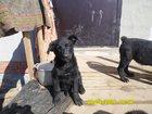 Фотография в   Отдам щенков в добрые руки 3 мес. в Калуге 0