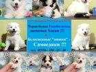 Изображение в Собаки и щенки Продажа собак, щенков Замечательные очень красивые щенки самоеда! в Калуге 0